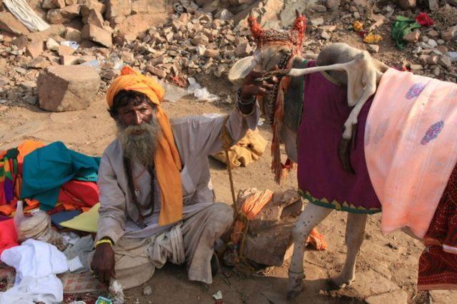 Zdjęcia: Jaipur, Rajasthan, Swieta Krowa (z 5-cioma konczynami), INDIE