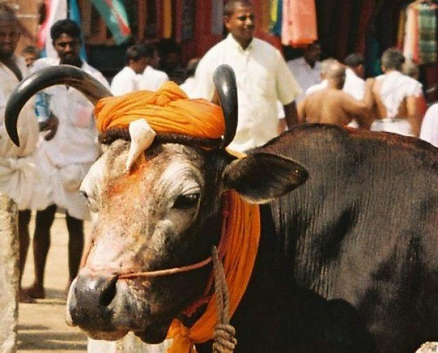 Zdjęcia: poludnie, poludnie, Swieta Krowa, INDIE