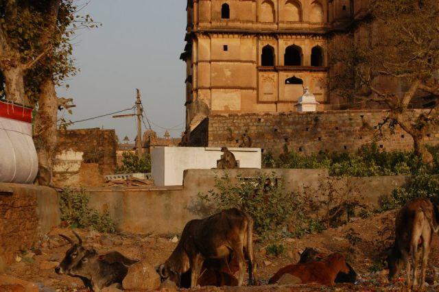 Zdjęcia: Orchha, Uttar Pradesh, Święte krowy, INDIE