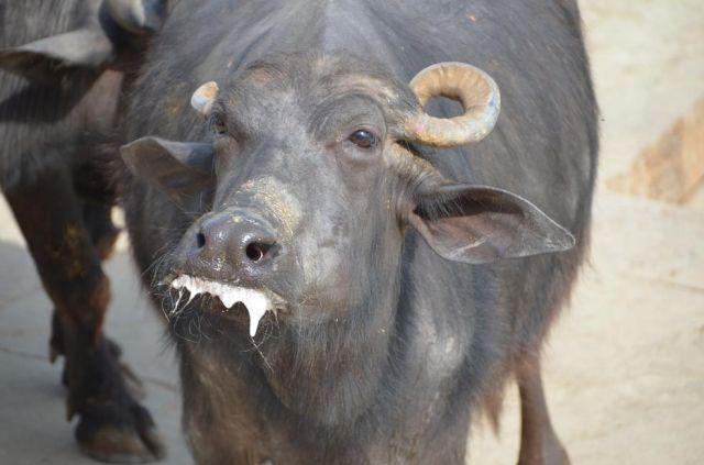 Zdjęcia: ., Varanasi, zawsze swiete krowy, INDIE
