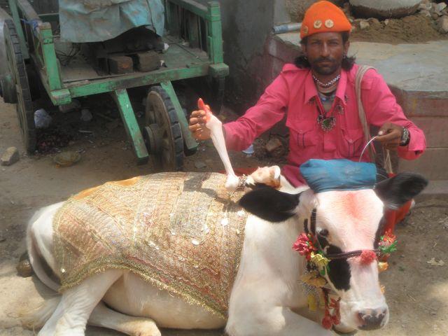 Zdjęcia: udajpur, Radżastan, wesoła krowa, INDIE