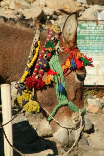 Zdjęcia: BHOJBASA, UTTARANCHAL, OSIOL NA SZLAKU, INDIE