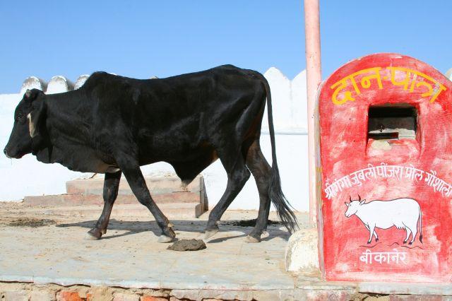 Zdjęcia: BIKANER, RAJASTHAN, SWIETA KROWA , INDIE
