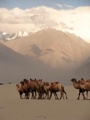 Zdjęcia: Ladakh -dolina Nubra, Kashmir - , pustynia w dolinie Nubra , INDIE