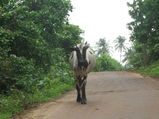 Zdjęcia: Anjuna, Goa, Przechadzka z krową, INDIE