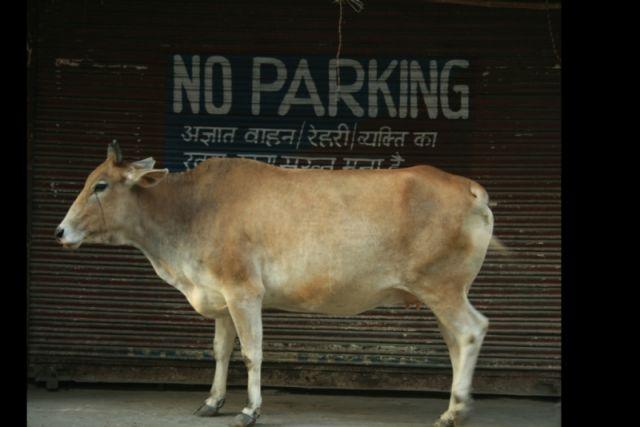 Zdjęcia: Delhi, Uprzywilejowane krowy, INDIE