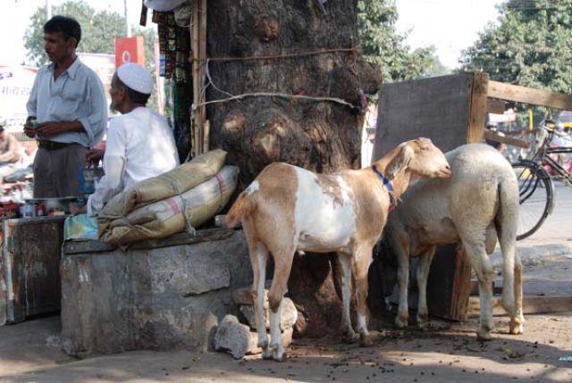 Zdjęcia: Delhi, Pastwisko, INDIE
