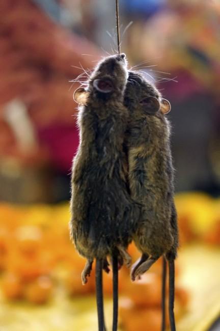 Zdjęcia: Dolina Ziro, Arunachal Pradesh, Leśne szczury, INDIE