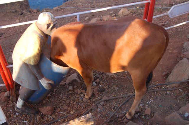 Zdjęcia: Okolice Poone, Złapała małpa krowę ze głowę:), INDIE