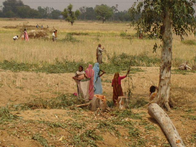 Zdjęcia: gdzieś w Radżastanie, prace polowe, INDIE