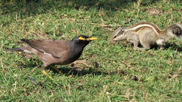 Zdjęcia: Park Narodowy Keoladeo, Bharatpur, Pasecznik palmowy i majna brunatna, INDIE