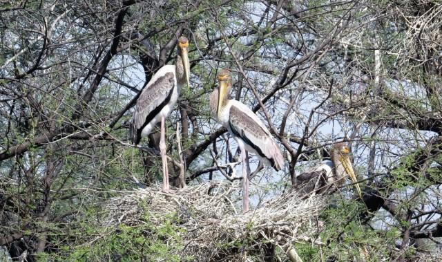Zdjęcia: Park Narodowy Keoladeo, Bharatpur, Dławigad indyjski, INDIE