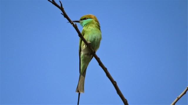 Zdjęcia: Park Narodowy Keoladeo, Bharatpur, Żołna wschodnia, INDIE