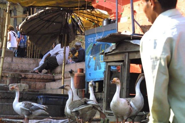 Zdjęcia: Waranasi, Uttar Pradesh, Dzikie gsi, INDIE