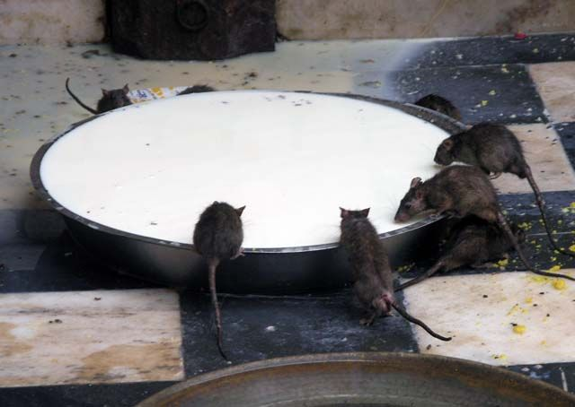 Zdjęcia: Karni Mata, Rajasthan, Swiątynia Szczurów, INDIE