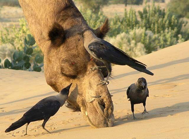 Zdj�cia: Pustynia Thar, Rajasthan, We� mi jeszcze tego robala z nosa wyci�gnij, :), INDIE