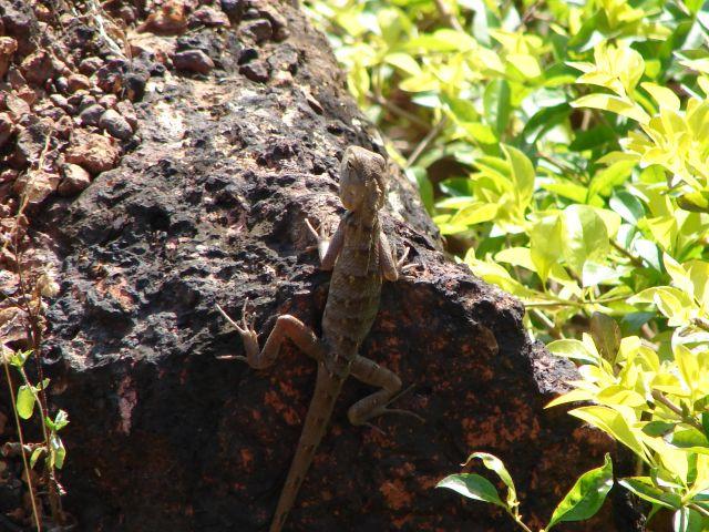 Zdjęcia: GOA, Jaszczurka, INDIE