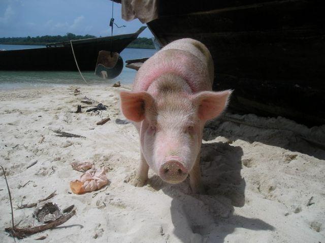 Zdjęcia: Wyspy, ANDAMANY, świnka na plaży , INDIE