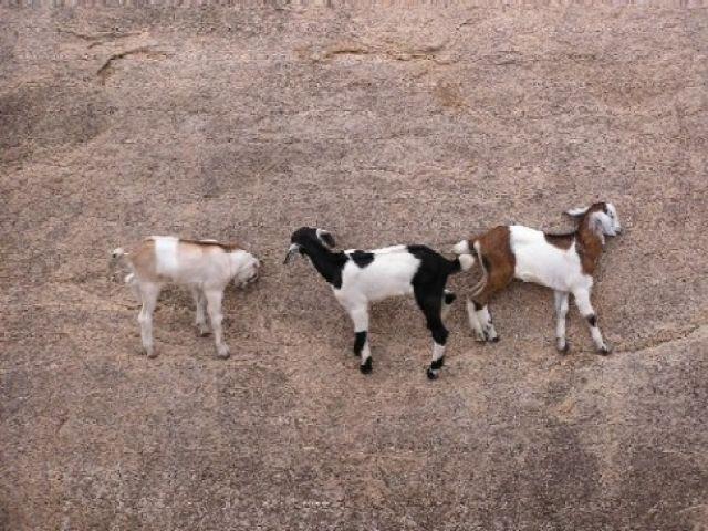 Zdjęcia: Majabalipuram, Tamil Nadu, kozie figle, INDIE