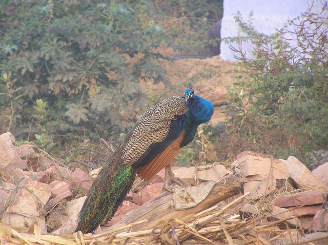 Zdjęcia: park narodowy Bharatpur, Paw, INDIE