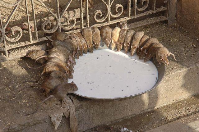Zdjęcia: śwątynia, interior, W świątyni szczurów, INDIE