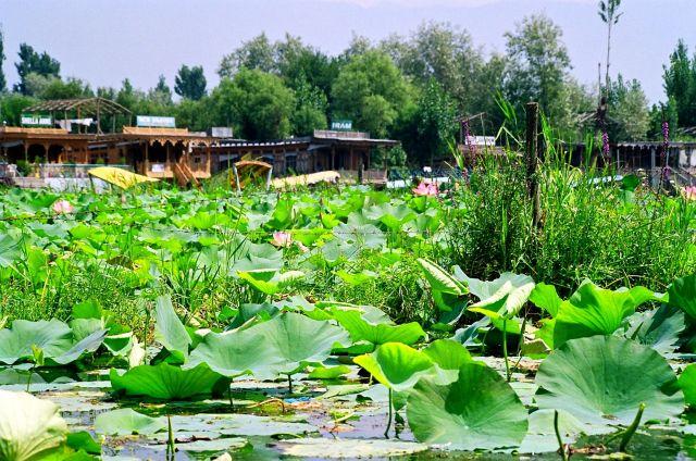 Zdjęcia: Jezioro Srinagar, Kaszmir, Morze lilii wodnych, INDIE