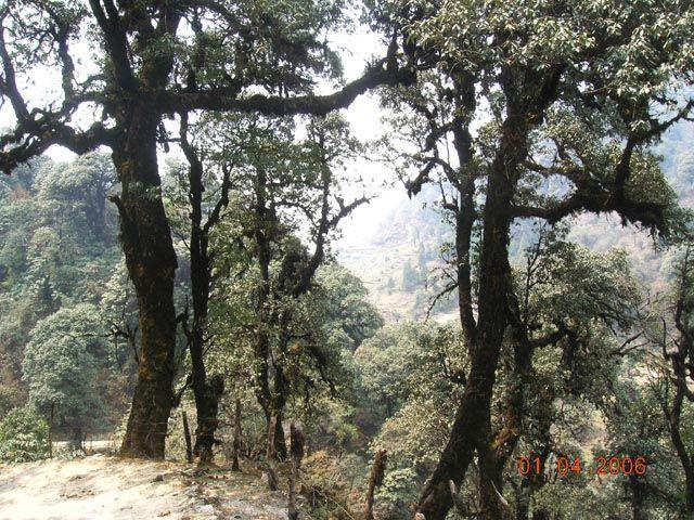 Zdjęcia: trekking Sandakphu, Bengal Zachodni, himalajskie dęby, INDIE