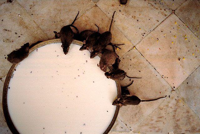 Zdj�cia: Karni Mata, Rajasthan, �wi�te szczury, INDIE
