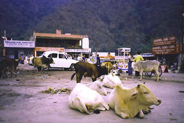 Zdjęcia: Rishikesh, święte krowy Rishikeshu, INDIE