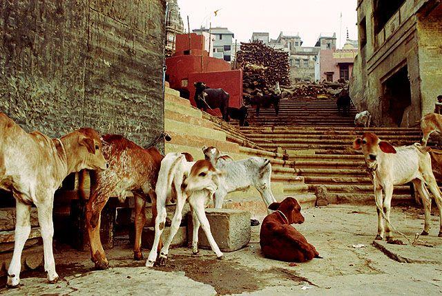 Zdjęcia: Varanasi, cielaczki przy ghatach, INDIE