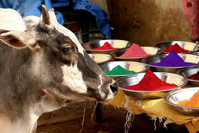 Zdjęcia: Orchha, Orchha, krowa, INDIE