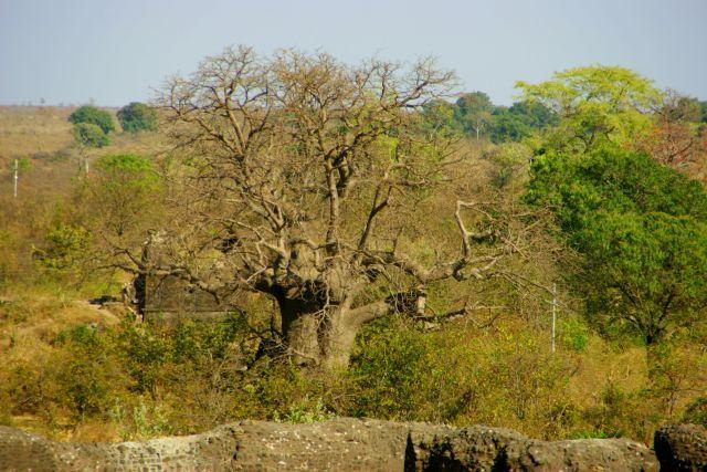 Zdjęcia: Godra, Godra, Prawie  Baobab, INDIE