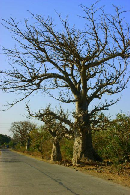 Zdjęcia: Mandi, Mandi, Baobaby, INDIE