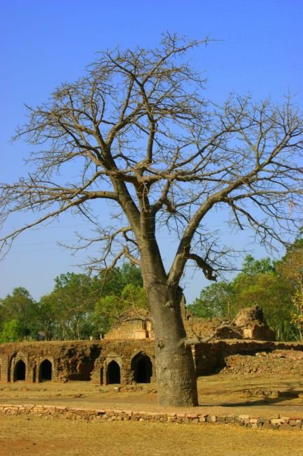 Zdjęcia: Mandi, Mandi, Baobab, INDIE