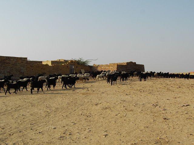 Zdjęcia: Jaisalmer - pustynia Thar, Rajasthan, w drodze na safarii, INDIE