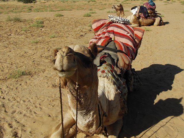 Zdj�cia: Jaisalmer - pustynia Thar, Rajasthan, wierzchowce, INDIE