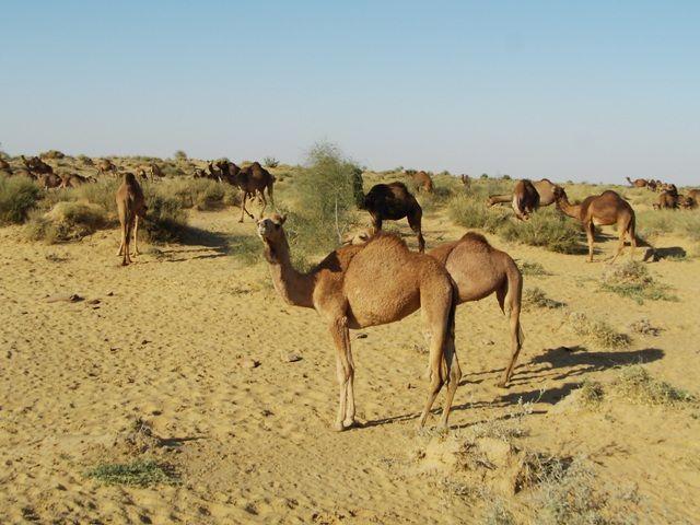 Zdjęcia: Jaisalmer - pustynia Thar, Rajasthan, stado wielbłądów, INDIE