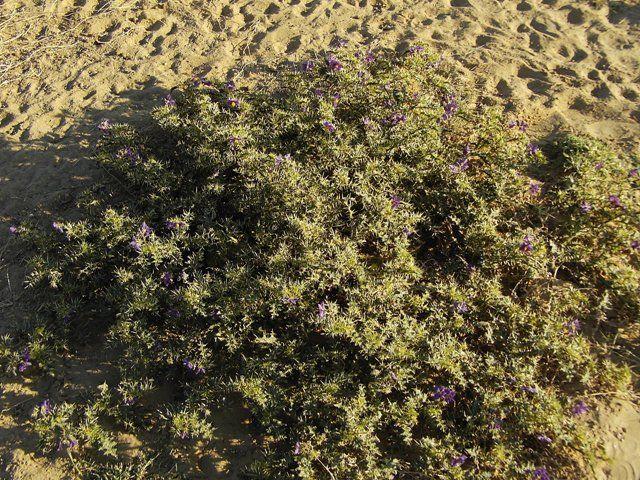 Zdjęcia: Jaisalmer - pustynia Thar, Rajasthan, pustynna roślinność, INDIE