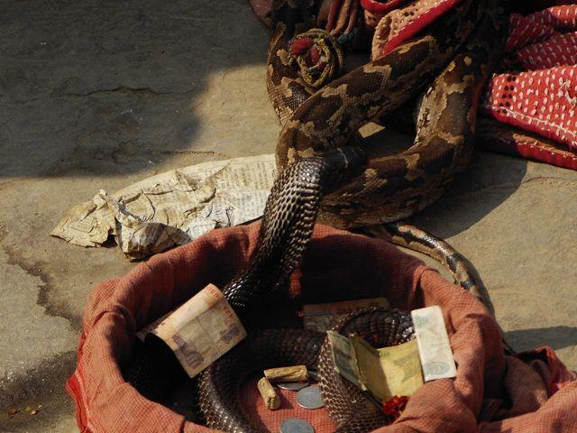 Zdjęcia: Varanasi, Uttar Pradesh, kobra, INDIE