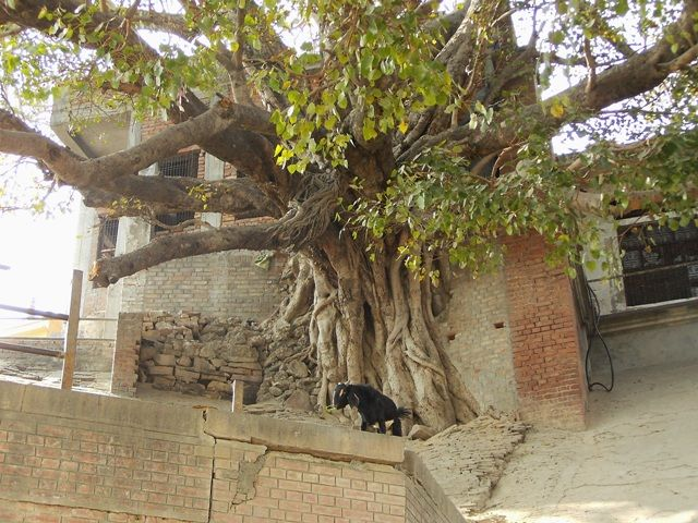 Zdj�cia: Varanasi, Uttar Pradesh, wiekowa ro�linno��, INDIE