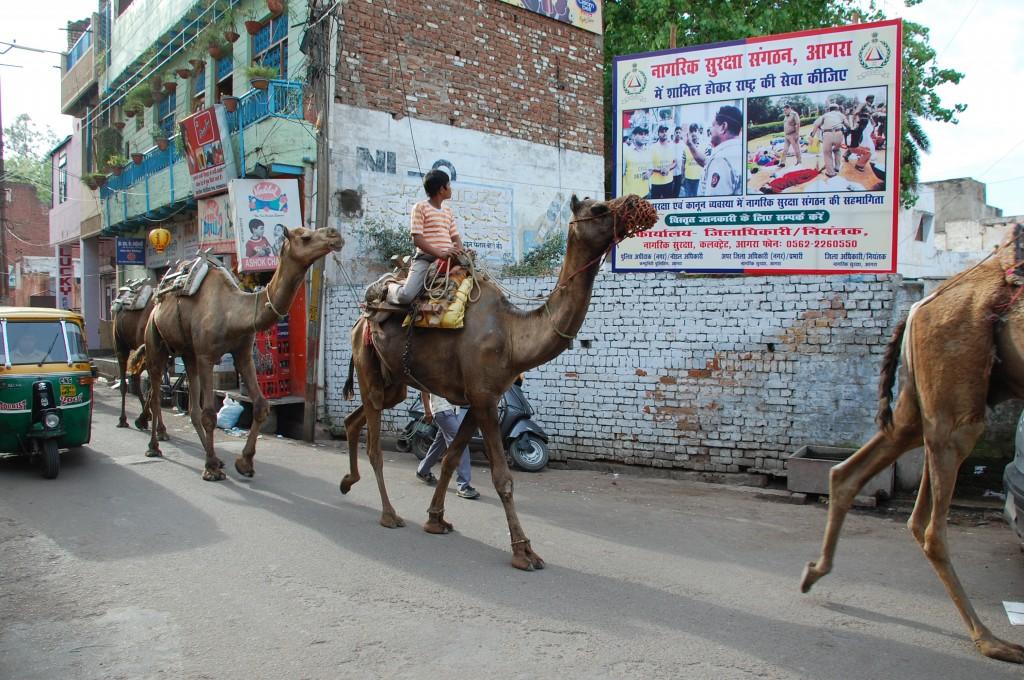 Zdjęcia: Agra,  Uttar Pradesh, Wielbłądy na ulicy w Agrze, INDIE