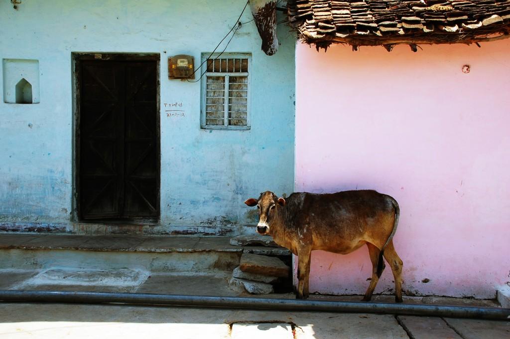 Zdjęcia: Khajuraho, Madhya Pradesh, Krówka na starym mieście w Khajuraho, INDIE