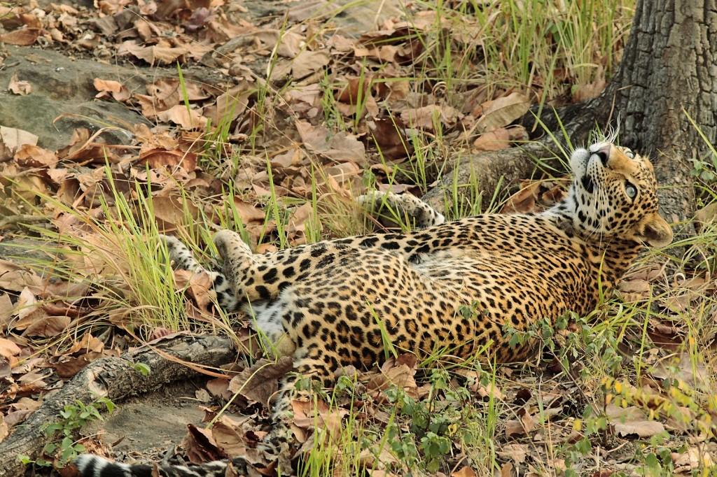 Zdjęcia: Park Narodowy Satpura, Kot marzyciel, INDIE
