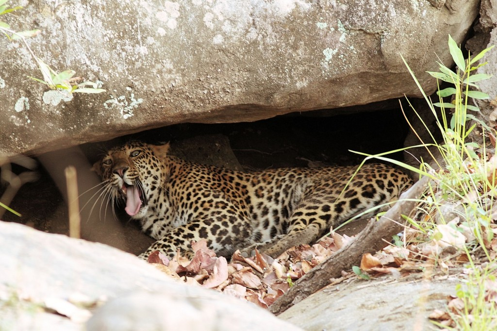 Zdjęcia: Park Narodowy Satpura, Wybudzony,chyba nie w porę, INDIE