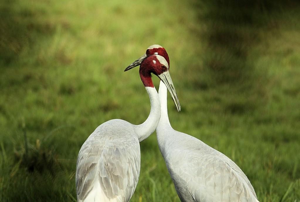 Zdjęcia: Park Narodowy Keoladeo, Indyjskie żurawie, INDIE