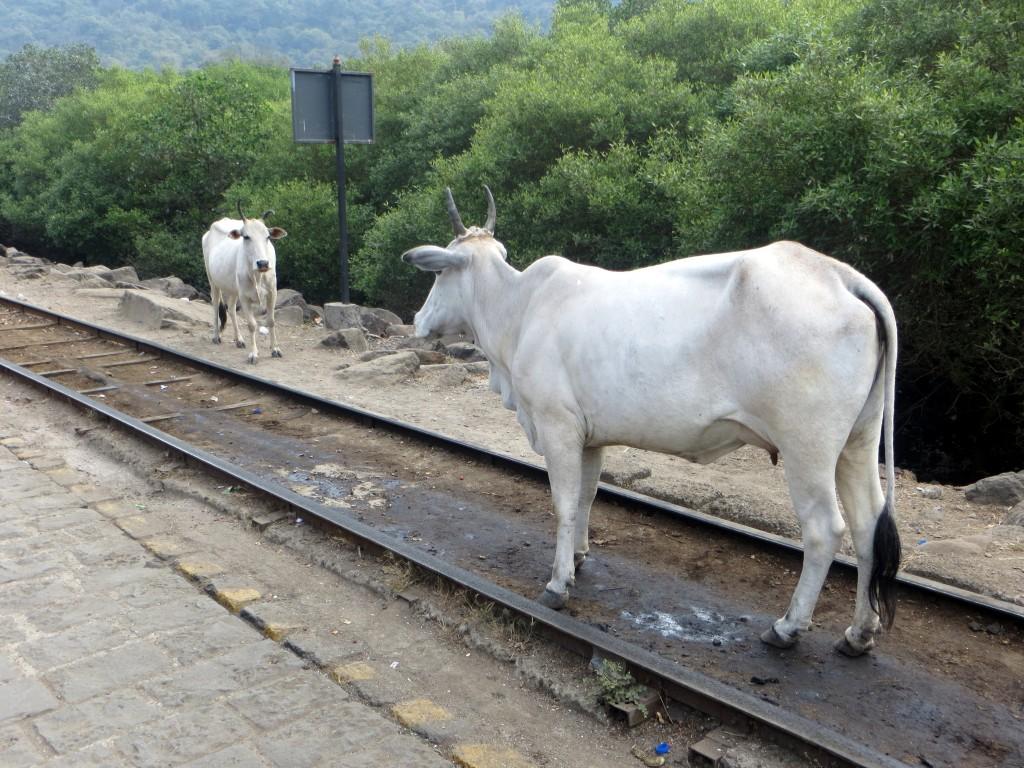 Zdjęcia: Wyspa Elephanta, Maharashtra, Randez krów, INDIE