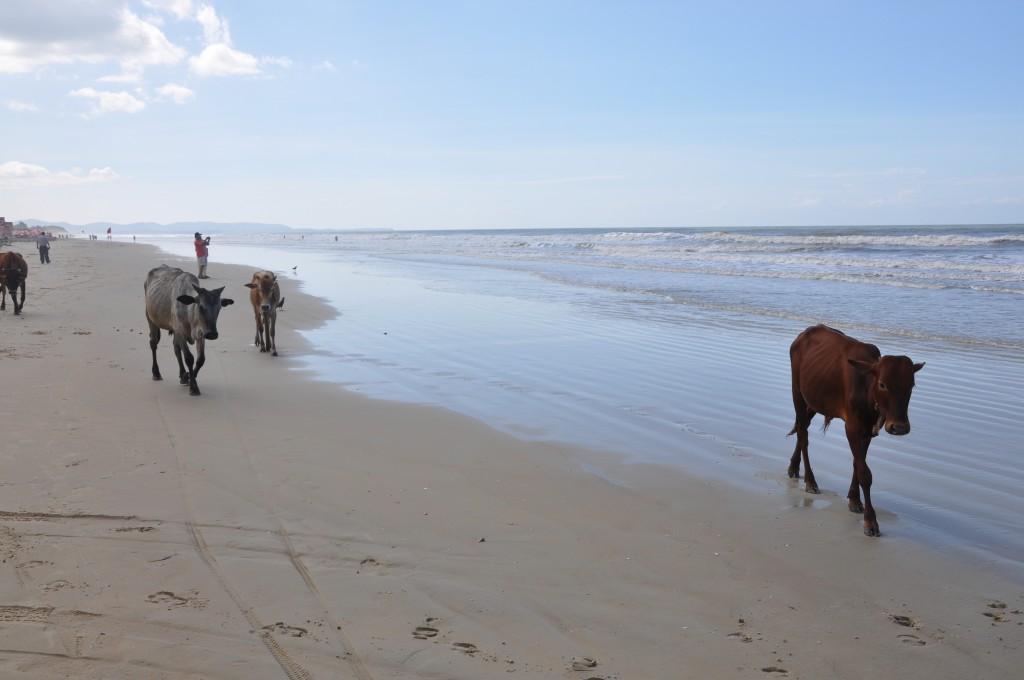 Zdjęcia: Goa beach, Goa, krowy, INDIE