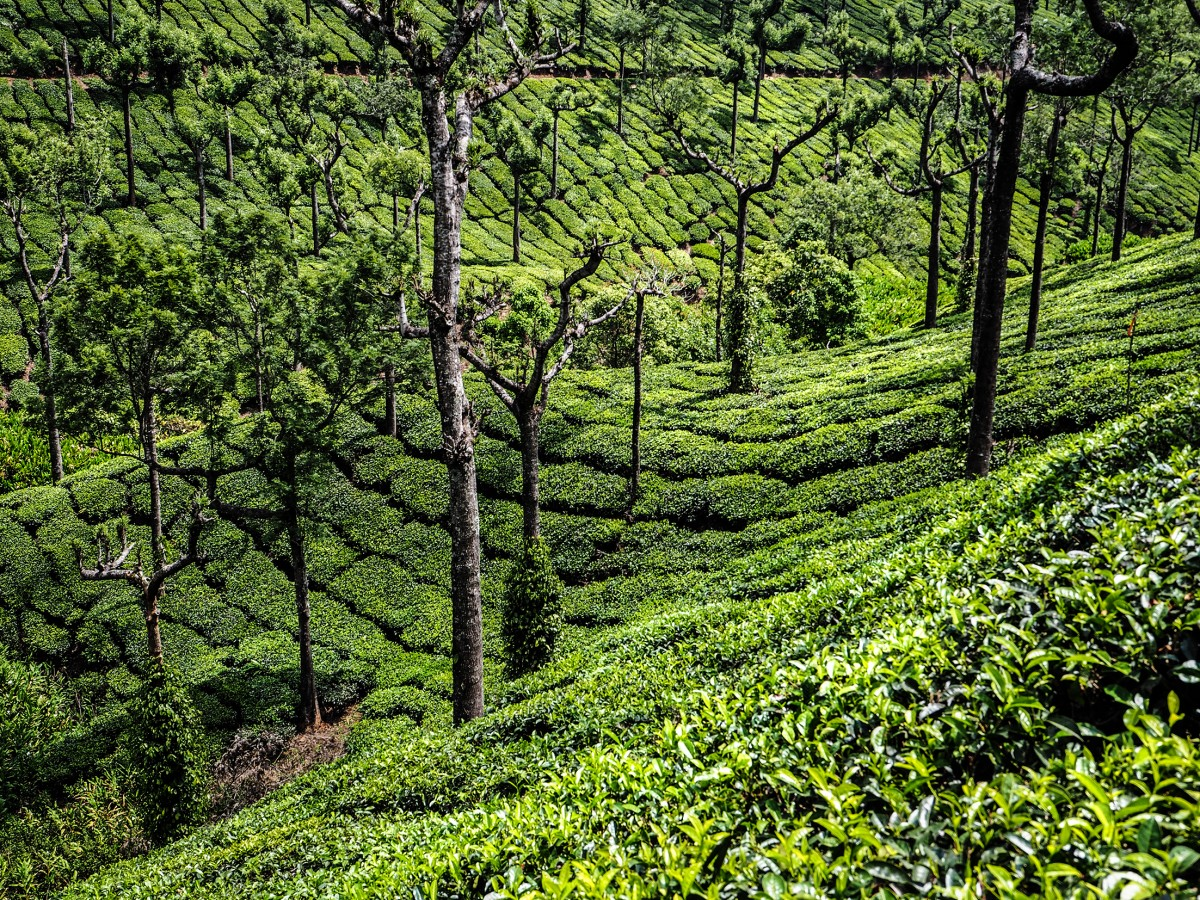 Zdjęcia: Munnar, Kerala, plantacje herbaty , INDIE