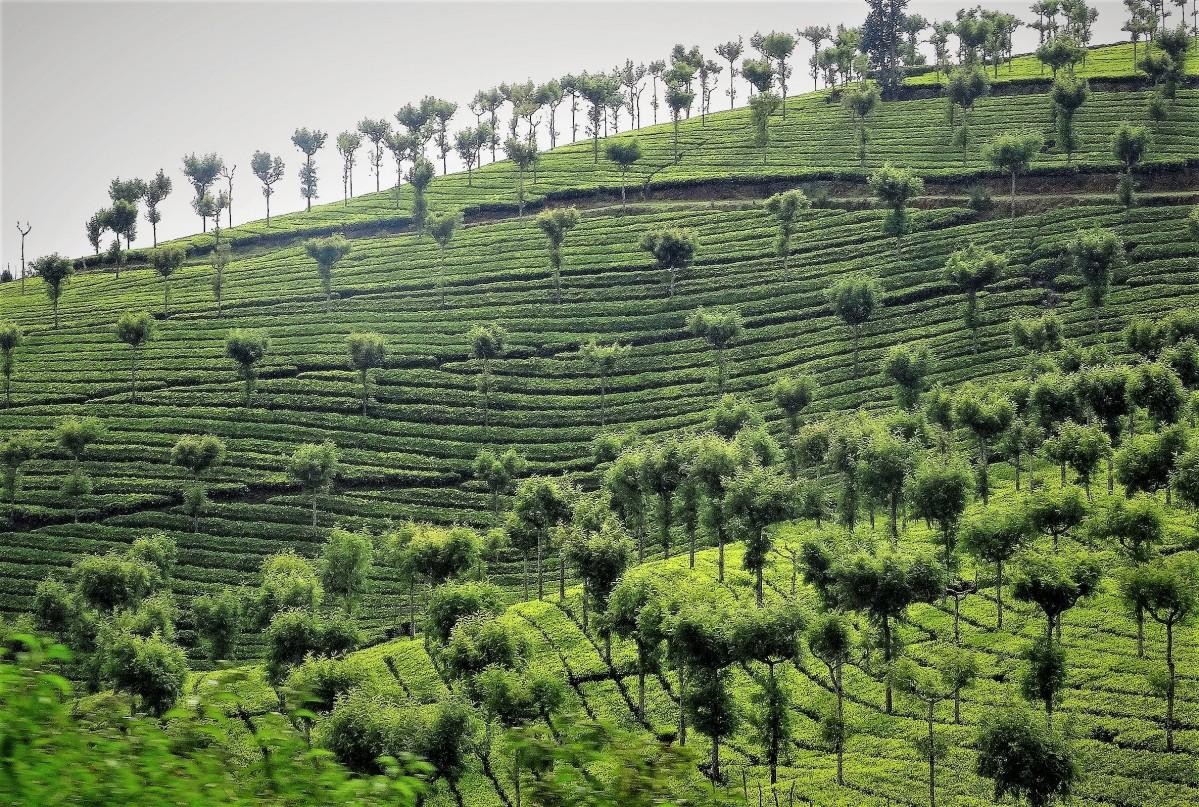 Zdjęcia: Kerala, Indie Południowe, Żywa zieleń pól herbacianych, INDIE