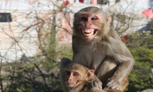 Zdjęcie INDIE / Rajasthan / Jaipur / Świątynia małp